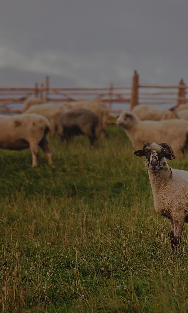 Bacówka na Bukowinie - sery owcze o najwyższych walorach smakowych